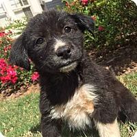 Adopt A Pet :: Maseratti - Roswell, GA