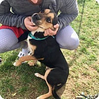 Shepherd (Unknown Type)/Hound (Unknown Type) Mix Dog for adoption in Zanesville, Ohio - Oliver - Urgent!