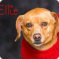 Dachshund Mix Dog for adoption in Somerset, Pennsylvania - Ellie