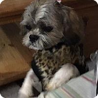 Shih Tzu Dog for adoption in Mississauga, Ontario - Chico