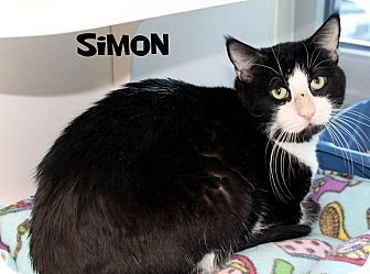 Domestic Mediumhair Cat for adoption in Edgewood, New Mexico - Simon