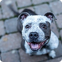 American Pit Bull Terrier Mix Dog for adoption in Des Peres, Missouri - Gremmie