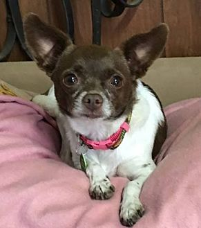 Chihuahua Mix Dog for adoption in Los Angeles, California - Blossom