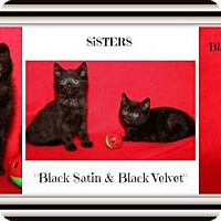 Adopt A Pet :: Black Satin & Black Velvet - Orland Park, IL