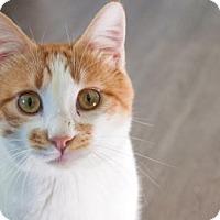 Adopt A Pet :: Cheddar - Santa Rosa, CA