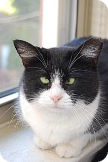 Domestic Mediumhair Cat for adoption in Chicago, Illinois - Olive