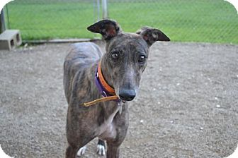 Greyhound Dog for adoption in Chagrin Falls, Ohio - Jewel (Clever Carol)