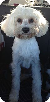 Maltese/Poodle (Miniature) Mix Dog for adoption in Oceanside, California - Henley
