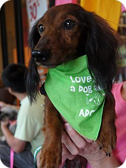 Dachshund Dog for adoption in Baton Rouge, Louisiana - Crimson