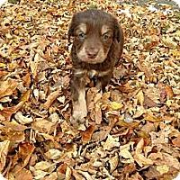 Adopt A Pet :: Dingo - Saskatoon, SK