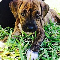 Adopt A Pet :: Angela - Miami, FL