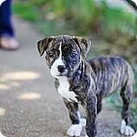 Adopt A Pet :: Khaleesi - Reisterstown, MD