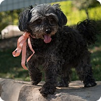 Adopt A Pet :: Sugar Plum - Sherman Oaks, CA