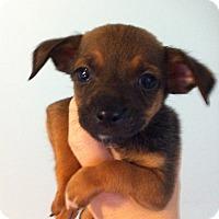 Adopt A Pet :: Yadi - Bridgeton, MO