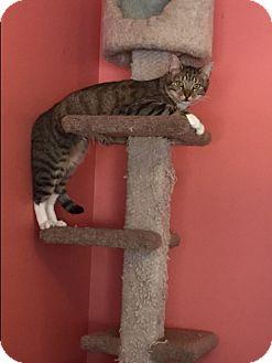 Domestic Shorthair Kitten for adoption in Smyrna, Georgia - Donatello