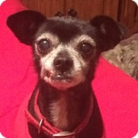 Italian Greyhound/Chihuahua Mix Dog for adoption in Riverside, California - McKenzie