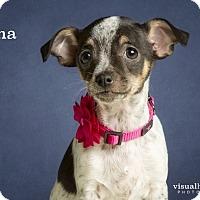 Adopt A Pet :: Tina - Chandler, AZ