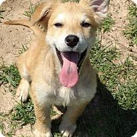 Adopt A Pet :: Sophie - Lebanon, CT