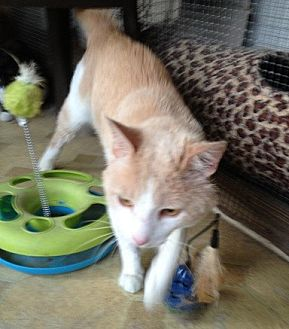 Domestic Shorthair Cat for adoption in Oviedo, Florida - Garfield