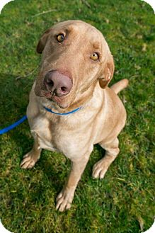 Labrador Retriever Mix Dog for adoption in Seattle, Washington - Marley Heart