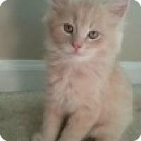 Adopt A Pet :: Bryzzo - McHenry, IL