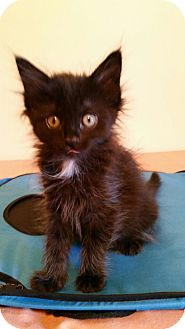 Domestic Shorthair Kitten for adoption in Highland, Indiana - Paris