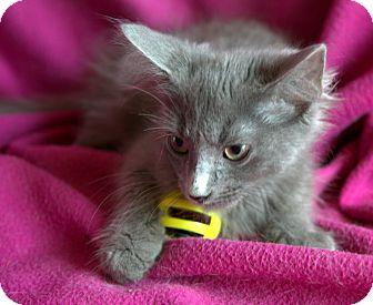 Russian Blue Kitten for adoption in Spring Valley, New York - Flint