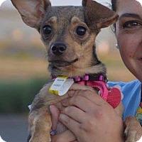 Adopt A Pet :: LETTIE - Denver, CO