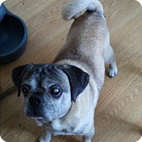 Pug Mix Dog for adoption in Detroit, Michigan - Gizmo