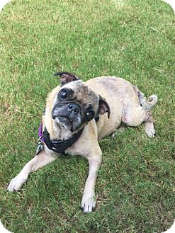 Pug Dog for adoption in Grapevine, Texas - Selita