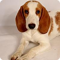 Adopt A Pet :: Benny Beagle - St. Louis, MO