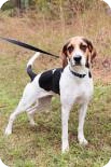 Coonhound Mix Dog for adoption in Columbus, Georgia - Bonnie Tyler 8229