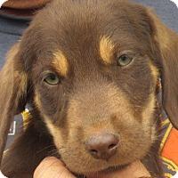 Adopt A Pet :: Topaz - Germantown, MD