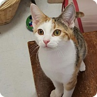 Domestic Shorthair Cat for adoption in Hollywood, Maryland - Jazz