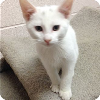 Domestic Shorthair Kitten for adoption in Gadsden, Alabama - tucker