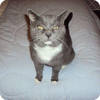 Russian Blue Cat for adoption in Houston, Texas - Boris Blue
