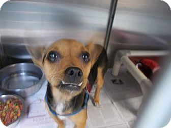 Rat Terrier/Chihuahua Mix Dog for adoption in Newton, Kansas - Buddy