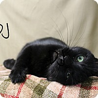 Domestic Shorthair Cat for adoption in Melbourne, Kentucky - DJ