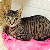 Domestic Shorthair Kitten for adoption in Sarasota, Florida - Chamomile