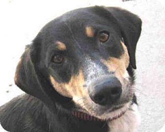 German Shepherd Dog Mix Dog for adoption in Missoula, Montana - BAILEY