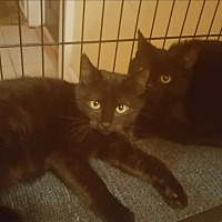 Adopt A Pet :: Onyx - Griffin, GA