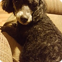 Adopt A Pet :: Buffy the Poodle - Hedgesville, WV