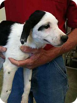 English Setter/Bluetick Coonhound Mix Puppy for adoption in Southampton, Pennsylvania - Willa