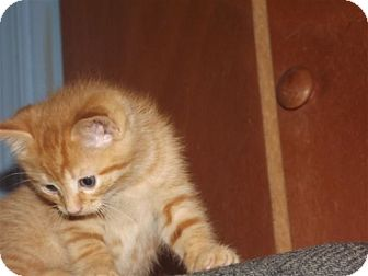 Domestic Shorthair Kitten for adoption in Bensalem, Pennsylvania - Copper