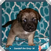 Adopt A Pet :: Holly's Puppy - Gandalf - Midlothian, VA