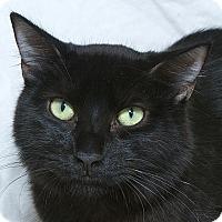 Domestic Mediumhair Kitten for adoption in Sacramento, California - Blackie B