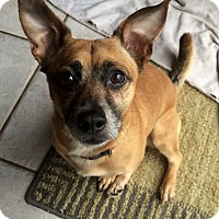 Adopt A Pet :: Bogey in CT - Manchester, CT