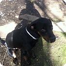 Adopt A Pet :: Chancy