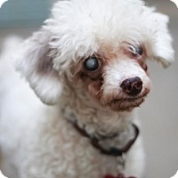 Miniature Poodle Dog for adoption in Los Angeles, California - Nia