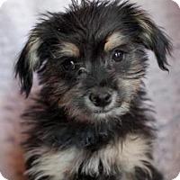 Adopt A Pet :: Coffe - Scottsdale, AZ
